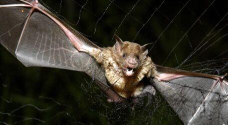 Οι νυχτερίδες βαμπίρ παίρνουν μέτρα «κοινωνικής απόστασης» όταν αρρωσταίνουν